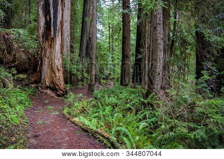 Trail Around Downed Redwood Tree In Pacific Northwest