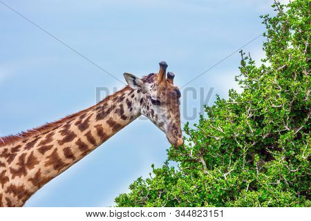 Long-necked giraffe grazes near a green bush in the African savannah. Jeep Safari Masai Mara, Kenya. The concept of active, environmental and photo tourism