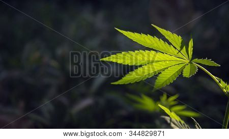 Hemp Thickets.a Branch Of Hemp In The Sun.openwork Sheet Of Hemp.green Leaves Glow In The Sun.the Ba