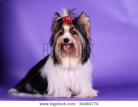 Biewer yorkshire terrier a la Pom-pon