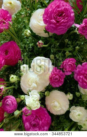 Ranunculus Flower Background.white And Pink Flowers Close-up Background.tender Floral Background. Fr