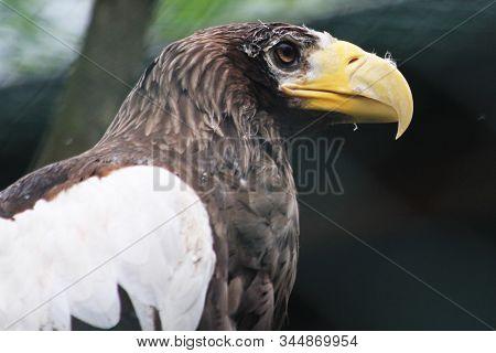 Steller's Sea Eagle As Big Bird