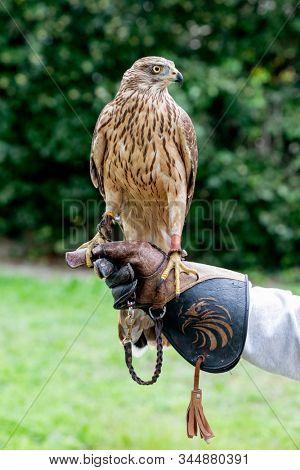 The art of falconry. Azor on the falconer's glove