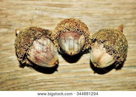 Close-up Of Three Bur Acorns On A Wood Grain Background.