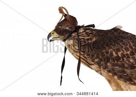 The art of falconry. Azor wearing a falconer's mask