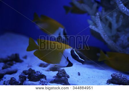 Beautiful Yellow Longnose Butterfly Fish In Clear Toned Blue Aquarium