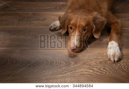 Dog Lying On The Floor On A Brown. Nova Scotia Duck Tolling Retriever At Home