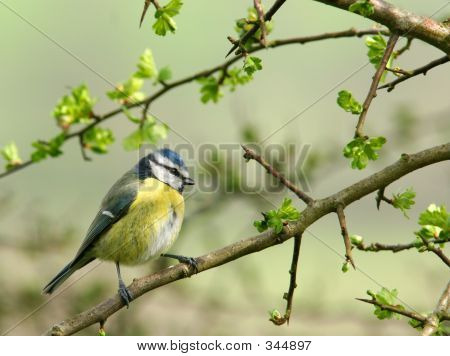 a blue tit sitting on the branch of a hawthorn tree in spring. poster