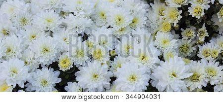 White Daisy Flower. Flower In Garden At Sunny Summer Or Spring Day. Flower For Postcard Beauty Decor