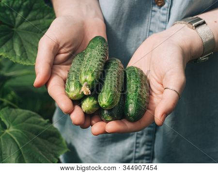 Fresh Cucumbers In Female Hands. Unrecognizable Young Hipster Woman In Denim Shirt Holding Organic C