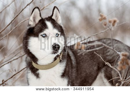 Portrait Of Siberian Husky Black And White Colour With Blue Eyes Outdoors In Winter. A Pedigreed Pur