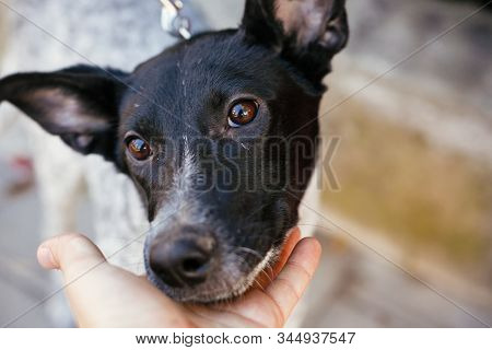 Portrait Of Cute Scared Dog Walking Next To Volunteer In Summer Day. Adoption From Shelter Concept.