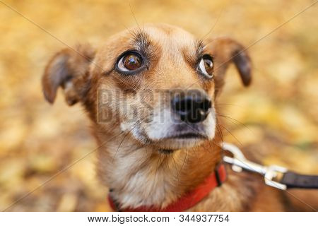 Portrait Of Cute Little Scared Dog Walking Next To Volunteer In Autumn Park. Adoption From Shelter C