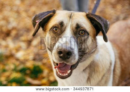 Portrait Of Cute Happy Dog Playing In Autumn Park. Adoption From Shelter Concept. Mixed Breed Yellow