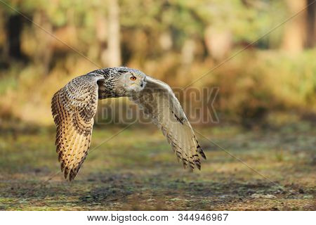 Flying Eurasian Eagle Owl With Open Wings In Forest During Autumn. Wildlife Russia. Owl In Nature Ha