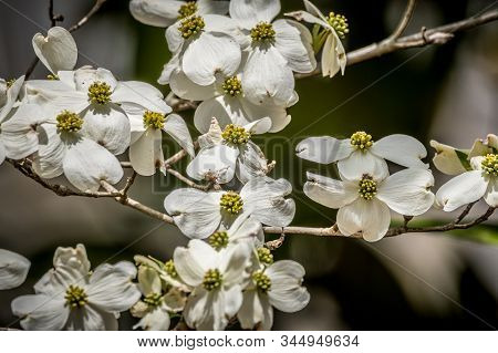 A Cluster Of White Flowers With Yellow Centers Blooming On Branches Of A Dogwood Tree In Early Sprin