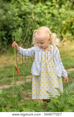 The little girl harvests carrots and eats carrots in the garden