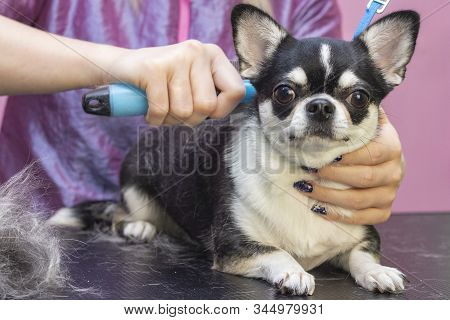 Dog Grooming, Combing Wool. Express Molt. Beautiful Dog In A Beauty Salon. Grooming Animals, Combing
