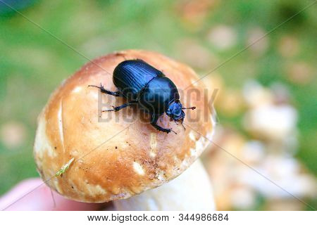 Black Or Dark Blue Dung Beetle On Brown Cep Mushroom