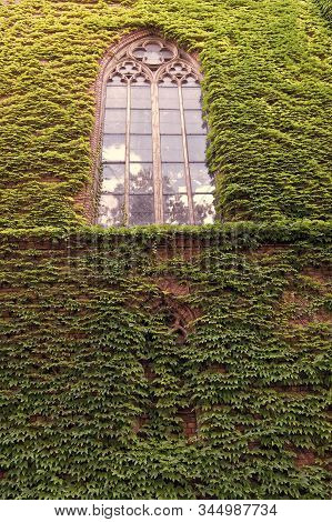 Growing Ivy Or Other Climbers Up Building Wall Can Have Many Benefits. Natural Decorations. Ivy Plan