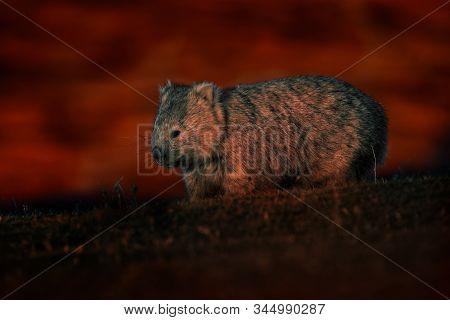 Common Wombat - Vombatus Ursinus In The Tasmanian Scenery In Australia, Climbing On Eucaluptus While