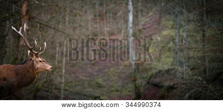 Winter wildlife landscape with noble deers Cervus Elaphus. Deer with large Horns with snow on the foreground and looking at camera. Natural habitat