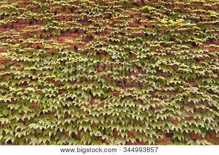 Vegetative Cover Can Insulate And Cool The Building. Ivy Plant On Wall. Green Leaves Surface. Green