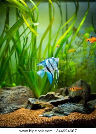 Zebra Angelfish (pterophyllum Scalare) In A Tropical Aquarium