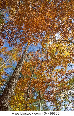 Dramatic Colors Up In The Canopy In Fall In Adirondack State Park In New York