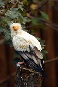 Egyptian vulture (Neophron percnopterus), also called the white scavenger vulture or pharaoh's chicken sitting on an old tree stump. poster