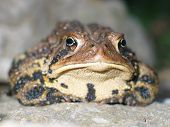 toad on a rock. poster
