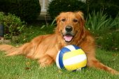 A handsome golden retriever sitting with his blue white and yellow ball poster