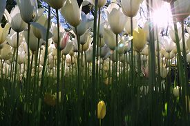 White And Yellow Tulips In Emirgan Wood, Istanbul