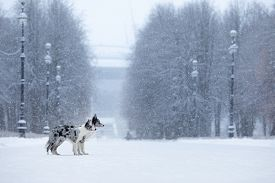 Two Dogs On A Park In Winter. Marble Border Collie Together Outdoors In The Snow