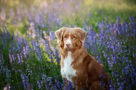 Dog In Lilac Flowers. Nova Scotia Duck Tolling Retriever In The Outdoors. Portrait Of A Pet. Cute To