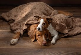 Two Dogs Lay Under A Blanket On A Background Of A Brown Wall. Nova Scotia Duck Tolling Retriever And