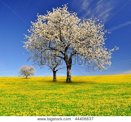 spring landscape with blooming cherry trees