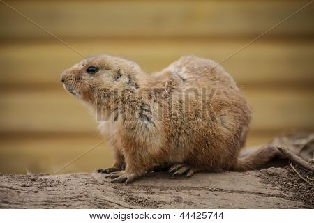 A Single Prarie Dog