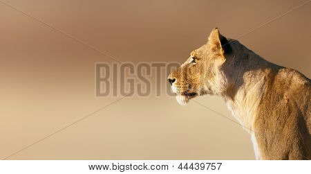 Lion; female; panthera leo; South Africa