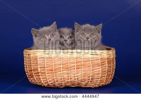 Scottish Kittens In The Basket