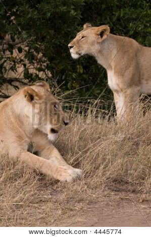 Young Lion And Lioness In Maasai Mara