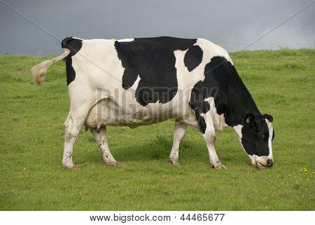Holstein Cow Dairy Farm Uk