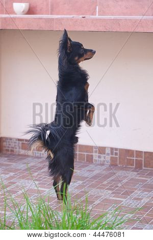 black russian toy terrier standing on hind legs poster