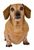 Little brown dog with big brown eyes looking forward on a white background. poster