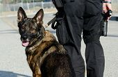 A police dog standing next to his handler as he looks over his shoulder. poster