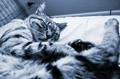 Monochrome image of striped cat sleeping on a sofa poster