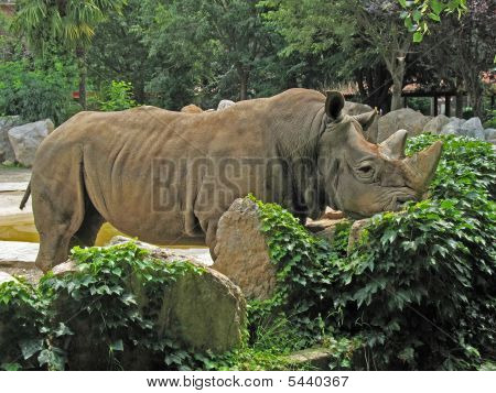 Animal Park - White Rhinoceros