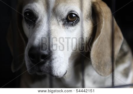 Lonely Beagle In Kennel