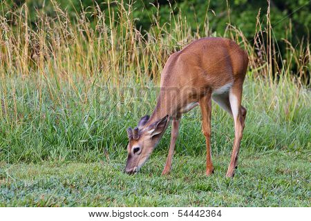 Young buck deer nibbles grass