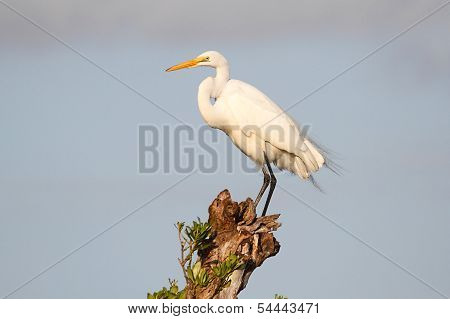 Great Egret (Ardea alba) on a tree in the Florida Everglades poster